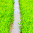 Rice sprouts plant in thailand — Stock Photo