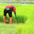 Farmer working rice plant  in farm of Thailand — Stock Photo
