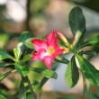 Mock Azalea Beautiful Red flowers — Stock Photo