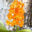 Orange orchids  — Stock Photo
