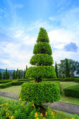 Pine trees garden — Stock Photo