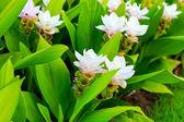 Flor de las flores de tulipán de Siam — Foto de Stock