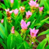 Siam tulip flowers blossom — Stock Photo