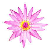 Purple lotus flower blooming with clipping path — Stock Photo