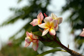 Plumeria frangipani flower — Stock Photo