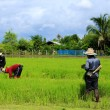 Farmer working rice plant in farm of Thailand — Stock Photo #32169011