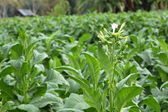 Tobacco plant — Stock Photo