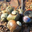 Golden Apple Snail — Stock Photo