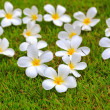 White frangipani on green grass — Stock Photo