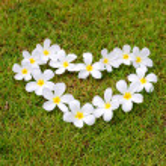 White frangipani on green grass — Stock Photo #32226091