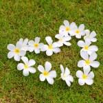 White frangipani on green grass — Stock Photo #32226149