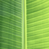 Bana leaf texture — Stock Photo