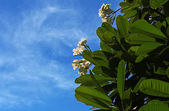 Hite frangipani flower — Stock Photo