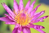 Purple lotus flower blooming — Stock Photo