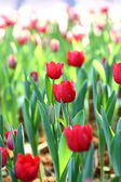 Colorful tulip on nature background — Stock Photo