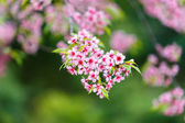 Wild Himalayan Cherry spring blossom — Stock Photo