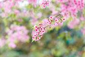 Wild Himalayan Cherry spring blossom — Photo