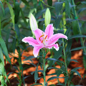 Lily flower blossom in garden — 图库照片