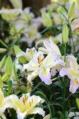 Lily flower blossom in garden  — Stockfoto