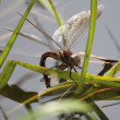 Stock Photo: Dragonfly lay eggs