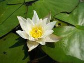 Flower of a Nymphaea candida — Zdjęcie stockowe