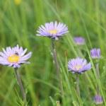 Aster alpine flowers — Stock Photo #41070691