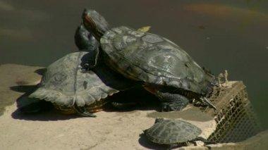 черепахи — Стоковое видео
