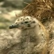 Gulls chicks — Stock Video
