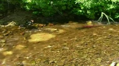 Salmon in the creek — Stock Video