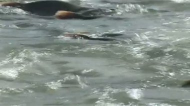 лосося в реке — Стоковое видео