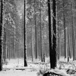 Stock Photo: Black and white Aspen trees during snowstorm in Yosemite park