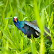The American Purple Gallinule (Porphyrio martinica) in Tortuguer — Stock Photo