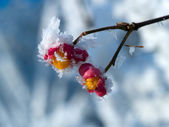 Frozen berries in the winter — Stock Photo