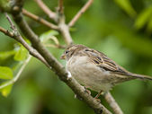 Female sparrow — 图库照片