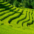 Beautiful green rice fields in Sikkim, India — Stock Photo