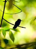 Silhouette of the Rufous-tailed Hummingbird (Amazilia tzacatl) — Stock Photo