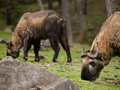 The takin is the national animal of Bhutan — Stock Photo