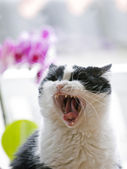 Yawning cat — Stock Photo