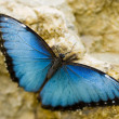 Beautiful Blue Morpho — Stock Photo #32891977