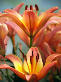 Michigan Lily — Stock Photo