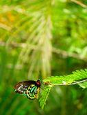 Queen Alexandra's Birdwing (Ornithoptera alexandrae) — Stock fotografie