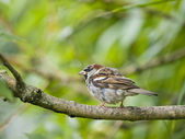 Male sparrow — Stockfoto