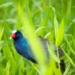 The American Purple Gallinule (Porphyrio martinica) in Tortuguero, Costa Rica — Stock Photo