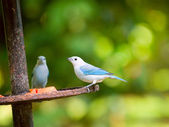The Blue-grey Tanager (Thraupis episcopus) in Tortuguero, Costa Rica — Stock Photo