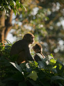 A macaque family showing affection for eachother — Stock Photo