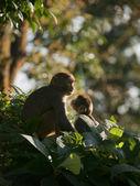 Una familia de macacos muestra afecto por eachother — Foto de Stock