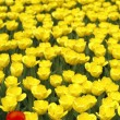 Field of tulips — Stock Photo #33963081