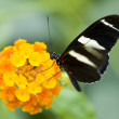 Stock Photo: PostmButterfly (Heliconius melpomene) feeding on flowers