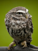 Angry looking little owl (athene noctua) perched on a branch — Stock Photo