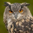 Portrait of a Eurasian Eagle-Owl (bobu bubo) — Stock Photo